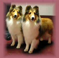 Sister Shelties