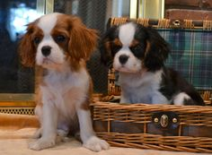 Cavalier King Charles Spaniel puppies are the cutest