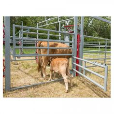 The Livestock Equipment 400 Series Heavy Duty High Pole Split Gate is ideally used in maternity pens or for sorting calves. Farm H, Farm Life, Cattle Farming, Livestock, Cattle Corrals, Poultry Equipment, Show Cattle, Dairy Cattle, The Barnyard