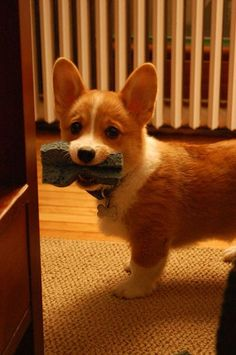 Can't wait until we have a corgi of our own! So precious!