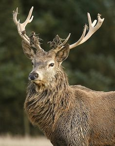 Magnificent and majestic #stag #antlers