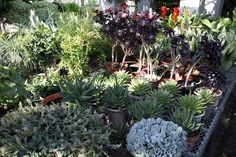 My succulent collection comprises a large part of my greenhouse collection of plants.