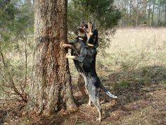 The Bluetick Coonhound was bred in the 20th-century United States specifically to tree raccoons. In today's tests, the dog even loses points if it trees anything other than a raccoon. The Bluetick is good with children and other animals, but not suited to urban living.