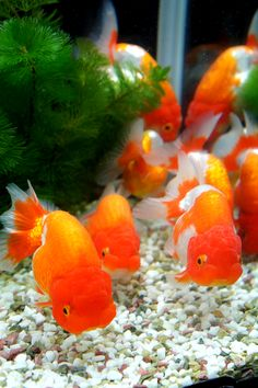 Lionhead Goldfish - They have a longer body than the similar Ranchu Goldfish #AquariumAccessories