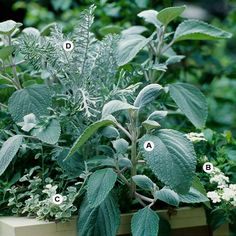 Create a Crisp, Clean Look Using silver and white gives you a clean, elegant look that fits well with any garden style. We love how the mix of textures adds to the design. A. Plectranthus argentatus -- 2  B. Verbena 'Babylon White' -- 3 C. Licorice plant (Helichrysum petiolare 'Variegatum') -- 3 D. Dusty Miller (Centaurea gymnocarpa 'Colchester White') -- 1