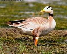 Bar-headed Goose