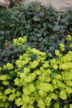 This photo illustrates the contrast I'd like to see between the plant selections. I'd like the leaf shapes and leaf colors to contrast as well as complement, adjacent plants. These plants could be used around the creek bed. Plants: ajuga, lysimachia, and various Ophiopogon japonicus vary the variegated and non-variagated versions.