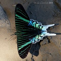 Urania leilus, green-banded urania, is a day-flying moth of the family Uraniidae. Butterfly Painting, Butterfly Art, Beautiful Bugs, Beautiful Butterflies, Beautiful Creatures, Animals Beautiful, Butterfly Species, Deep Sea Creatures, Flying Flowers