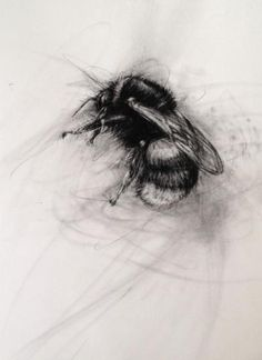 April Coppini : Buff-tailed Bumble Bee, Queen Charcoal on Paper 19 X 19 - I want this as a tattoo! - so beautiful