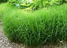 Carex muskingumensis 'Little Midge' - 0.3 x 0.45, fully hardy in UK, sun/part shade, tolerant of clay