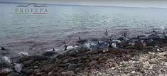 Atiende Profepa varamiento de delfines en La Paz, Baja California Sur | El Puntero