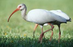 White Ibis - Eudocimus albus - NatureWorks