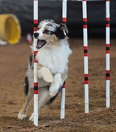 Want to do this some day with my future doggy! Miniature American Shepherd, Australian Shepherd Dogs, Agility Training For Dogs, Dog Agility, Doggies, Dogs And Puppies, Aussie Dogs, Loyal Dogs, Herding Dogs