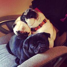I need another pug to make a sleepy pug pile like this! (puuuggs)