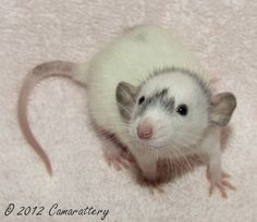 cute rats as pets - Google Search