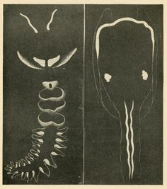 """Diagram of Pholas (right) and Chaetopterus (left) to show distribution of luminous areas."" The nature of animal light. 1920."