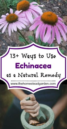 Holistic Health Remedies 13 Ways to Use Echinacea as a Natural Remedy Pilates Training, Pilates Workout, Natural Health Remedies, Natural Cures, Natural Healing, Herbal Remedies, Cold Remedies, Natural Oil, Natural Treatments