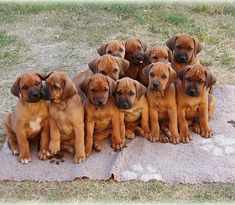 With my brothers and sisters❤️ Where am I? #family #familyphotography #rhodesianridgebackpuppy #rhodeisanridgeback…