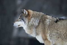 Wolf hunting in areas outside of the animal's designated protected zones has been suspended after the World Wide Fund for Nature (WWF) sued the state at Oslo District Court.