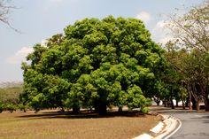 https://flic.kr/p/AWnJZ   Plantas de Venezuela: Mango.   Mangifera molle L. ANACARIACEAE