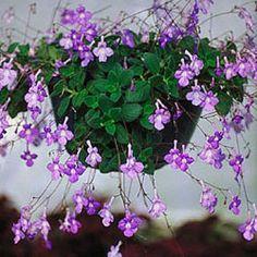 Streptocarpella - violette dauphine