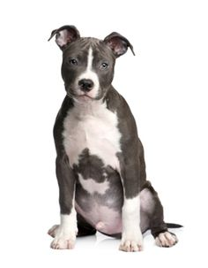 Our top list of Pit Bull names are ideas chosen just for this unique breed. Find cool male and female Pitbull dog names by theme and color too. American Staffordshire Terriers, American Pit Bull Terrier, American Pitbull, Pitbull Terrier, Amstaff Terrier, Pitbull Dog Names, Shelter, Pitbulls, Animals