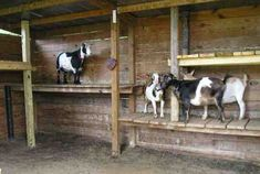Giving You A good knowledge of pygmy goat care and house plans so you can develop a safe and happy environment for your goats Keeping Goats, Raising Goats, Pygmy Goat House, Pygmy Goats, Goat Playground, Playground Ideas, Miniature Goats, Miniature Cattle, Goat Shed
