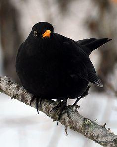 Koltrast (Black bird) - Birds in Sweden