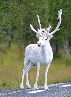 Enchantingly Rare All-White Reindeer Spotted on the Side of a Road in Sweden - Beautiful Creatures - Animals Amazing Animals, Unique Animals, Bizarre Animals, Beautiful Creatures, Canis Lupus, Rare Albino Animals, Albino Deer, White Reindeer, White Moose