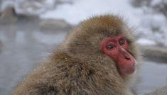 Snow Monkeys in Japan: Ultimate Guide for Visiting Jigokudani Snow Monkey Park Monkey Park Japan, Snow Monkey Park, Snow Monkeys Japan, Jigokudani Monkey Park, Nagano Japan, Japan Travel, Animals, Posts, Tokyo