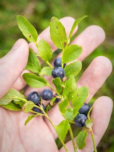 Current weather and hiking conditions in Nuuksio National Park in Vihti and Espoo, Finland. Updated every week with new photos from the national park. Wild Blueberries, Shore Excursions, Seasonal Food, Pilgrimage, Helsinki, Vintage Postcards, Food Pictures, Finland, Blueberry