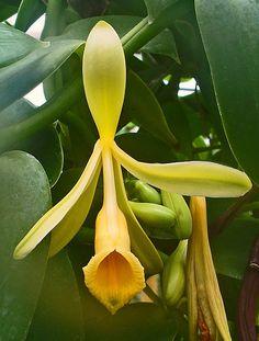 Vanilla orchid (vanilla planifolia)  #perfume