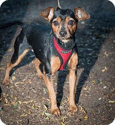 Charlie a Miniature Pinscher Mix adopted from Humane Society of New York
