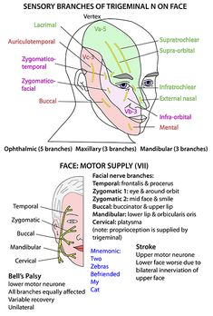 Instant Anatomy - Head and Neck - Nerves - Cranial - VII supplying face Nervous System Parts, Nervous System Anatomy, Nerve Anatomy, Face Anatomy, Dental Anatomy, Medical Anatomy, Facial Nerve Branches, Dentistry Education, Study Flashcards