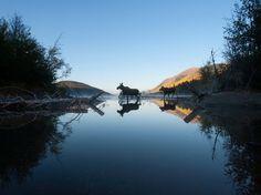"""Dos alces cruzan el lago Ealue, en el noroeste de la Columbia Británica Canadá. Tal vez sean Rutt y Tuke de la película """"Tierra de osos"""". Fotografía de Pablo Colangelo, vía National Geographic."""