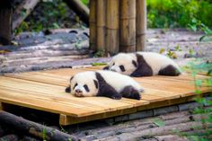 Panda Facts For Kids, Baby Panda Pictures, National Geographic, Photos Of Cute Babies, Sleeping Panda, Baby Panda Bears, Baby Pandas, Panda Bebe, Rare Animals