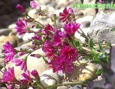 Lewisia cotyledon für heiße Plätze im Garten