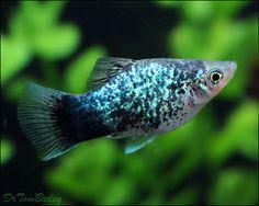 http://www.aquariumfish.net/images_01/Platy_blue_100514a1_w0480.jpg