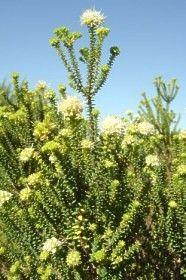 Image of A. apiculata bush