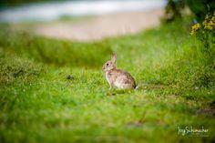 Kaninchen / – » #Kaninchen #Wiese #Ostern #Süsss #Tierfotografie #Fotografie #einfachMedien #Bildbearbeiter #JoergSchumacher #myfavpicoftheday #myfavpicoftheweek #Sweet #Rabbit #Animalphotography #Photography