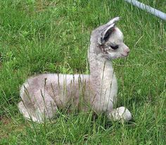 Alpacas Hard to get much cuter than this baby huacaya!