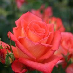 """ Monica "" (TANaknom) - Pink blend hybrid tea rose - Mild fragrance - Bred by Hans Jurgen Evers (Germany) - Introduced by Tantau, 1985"
