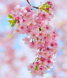 Cherry blossoms - gloriously beautiful. We had the most exquisite cherry blossom tree in our front garden when I was small; I used to sit and look at it and dream....