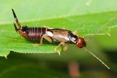 earwig - Forficula auricularia - male