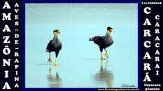 Amazônia - Aves de Rapina - Carcará Caracarai - Caracara plancus - Celco...