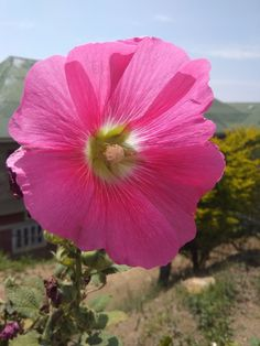 Pink hibiscus Hibiscus, Nature, Plants, Pink, Naturaleza, Plant, Nature Illustration, Pink Hair, Off Grid