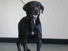 TO BE DESTROYED 10/25/14 Brklyn Ctr  LOUISE  ID #A1018257  Female black/white lab retr mix ~ About 8 YRS old***** LOUISE NEEDS HELP TONIGHT****Gorgeous Lab Retriever mix~ lush, black coat ~A bit underweight at 67 lbs ~A bit head shy ~ Friendly & had a soft body and wagging tail ~Allowed handling. Other than her tenseness Louise appears to be in great health. Will you give Louise a chance ?  For more info on the NYC AC&C, or to  find a rescue to: http://urgentpetsondeathrow.org/must-read/