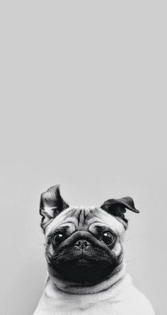 Cute Pug iPhone Wallpaper