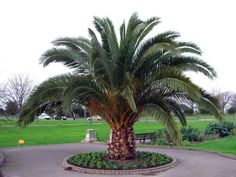 date palm | Canary Island Date Palm (Phoenix canariensis) Tree Pictures