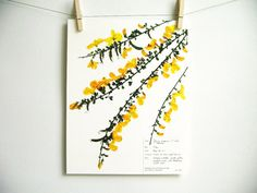 Print of Scotch Broom Herbarium Specimen Art by DayThreeCreations